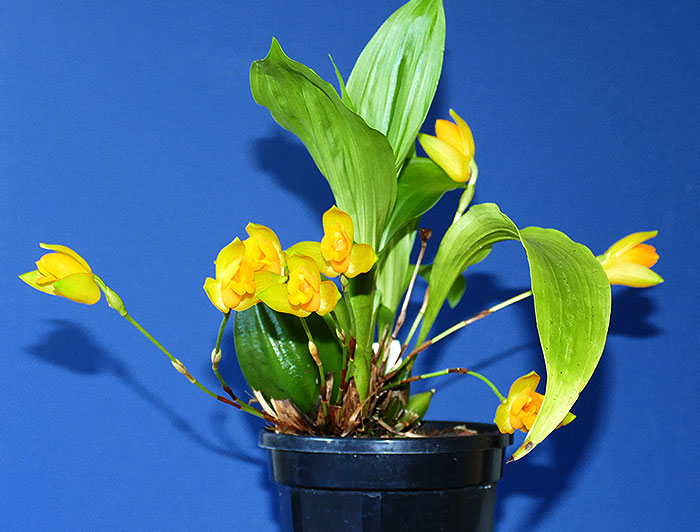 Name:  Lycaste-aromatica--May-2020.jpg Views: 71 Size:  87.8 KB