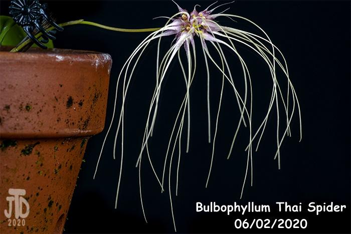 Name:  Bulbophyllum Thai Spider3 06022020.jpg Views: 51 Size:  158.4 KB