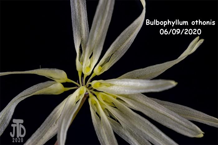 Name:  Bulbophyllum othonis2 06092020.jpg Views: 45 Size:  104.1 KB