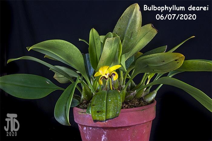 Name:  Bulbophyllum dearei1 06052020.jpg Views: 44 Size:  182.4 KB