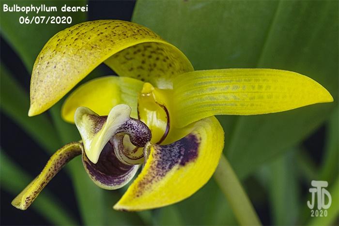 Name:  Bulbophyllum dearei2 06052020.jpg Views: 42 Size:  118.3 KB