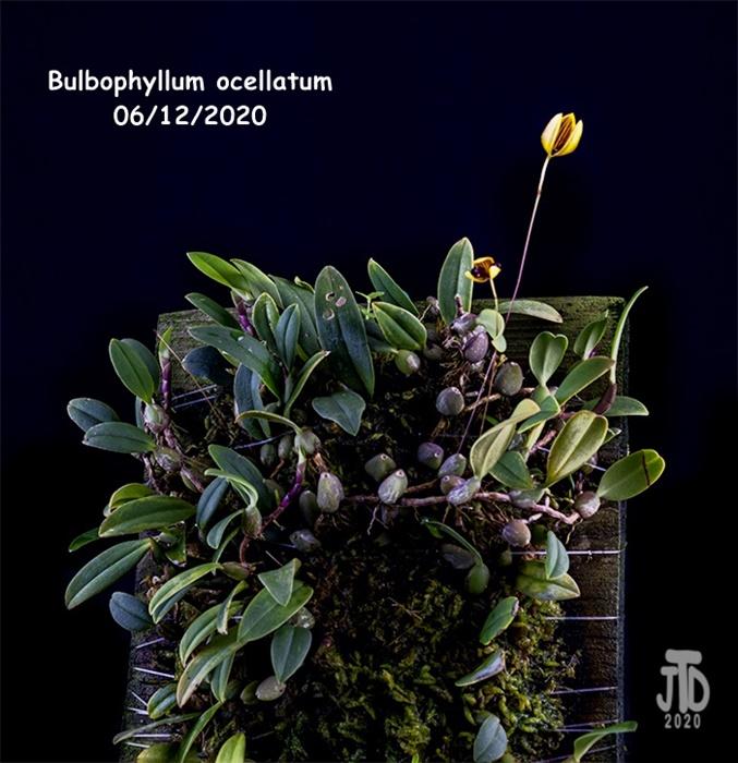 Name:  Bulbophyllum ocellatum1 06122020.jpg Views: 52 Size:  159.0 KB