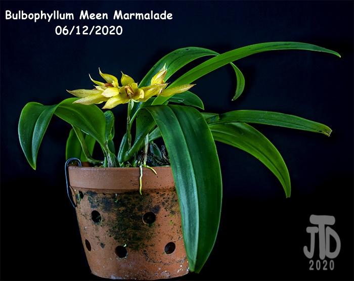 Name:  Bulbophyllum Meen Marmalade1 06122020.jpg Views: 56 Size:  128.0 KB
