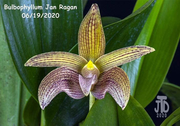Name:  Bulbophyllum Jan Ragan4 06192020.jpg Views: 43 Size:  171.3 KB