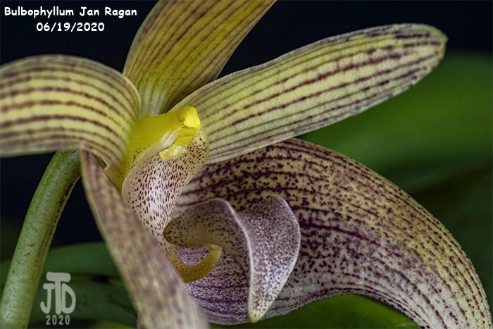 Name:  Bulbophyllum Jan Ragan2 06192020.jpg Views: 39 Size:  152.4 KB