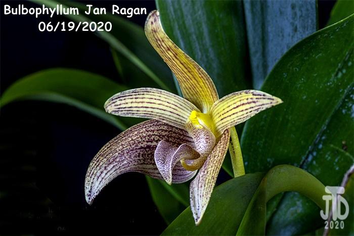 Name:  Bulbophyllum Jan Ragan3 06192020.jpg Views: 40 Size:  119.7 KB