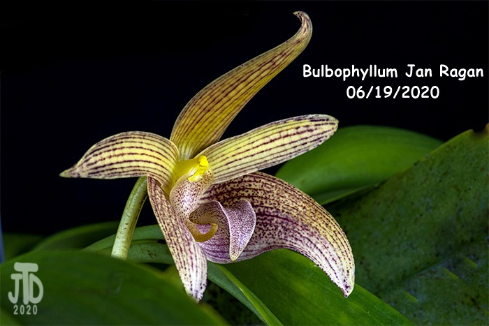 Name:  Bulbophyllum Jan Ragan5 06192020.jpg Views: 42 Size:  110.1 KB