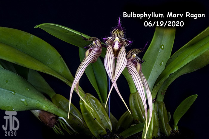 Name:  Bulbophyllum Marv Ragan4 06182020.jpg Views: 65 Size:  129.8 KB