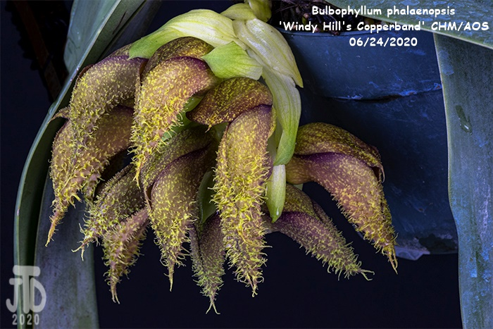 Name:  Bulbophyllum phalaenopsis 'Windy Hill's Copperband'3 CHM-AOS1 06222020.jpg Views: 52 Size:  170.0 KB