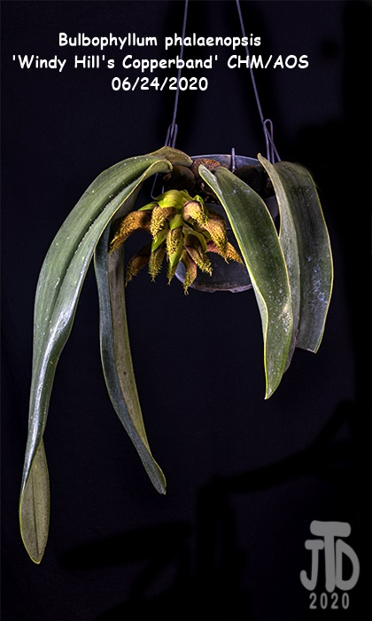 Name:  Bulbophyllum phalaenopsis 'Windy Hill's Copperband'1 CHM-AOS1 06222020.jpg Views: 49 Size:  125.6 KB