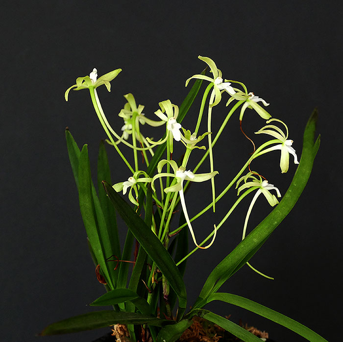 Name:  V.falcata-Green-Delight.jpg