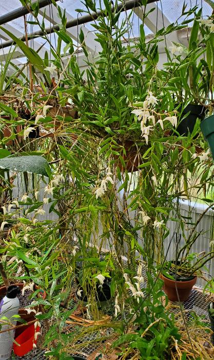 Name:  Dendrobium crumenatum0.jpg Views: 65 Size:  513.7 KB