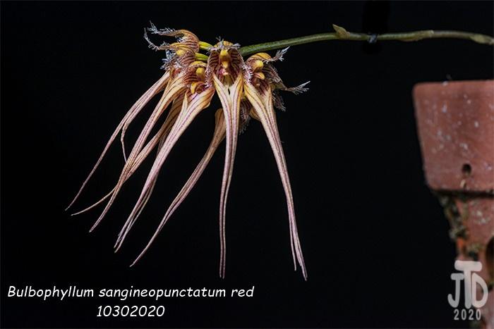 Name:  Bulbophyllum sangineopunctatum red2 10302020.jpg Views: 46 Size:  140.2 KB