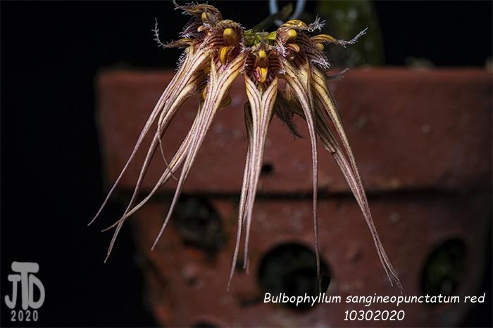 Name:  Bulbophyllum sangineopunctatum red3 10302020.jpg Views: 45 Size:  152.8 KB