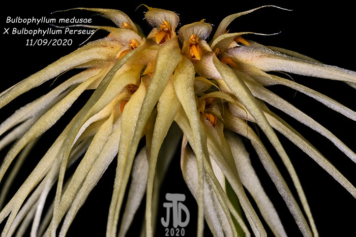 Name:  Bulbophyllum medusaeXB. Perseus1 11092020.jpg