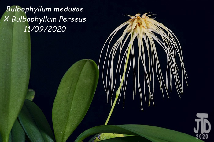 Name:  Bulbophyllum medusaeXB. Perseus2 11092020.jpg