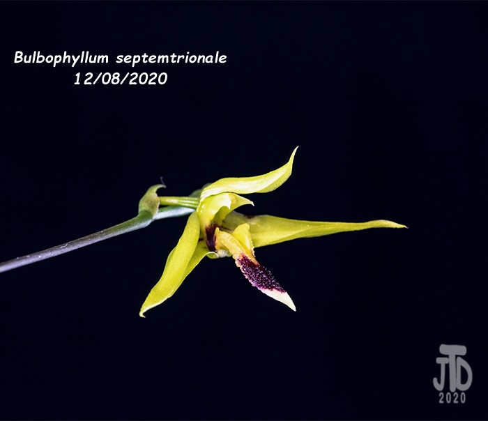 Name:  Bulbophyllum septemtrionale2 12082020.jpg Views: 36 Size:  72.9 KB
