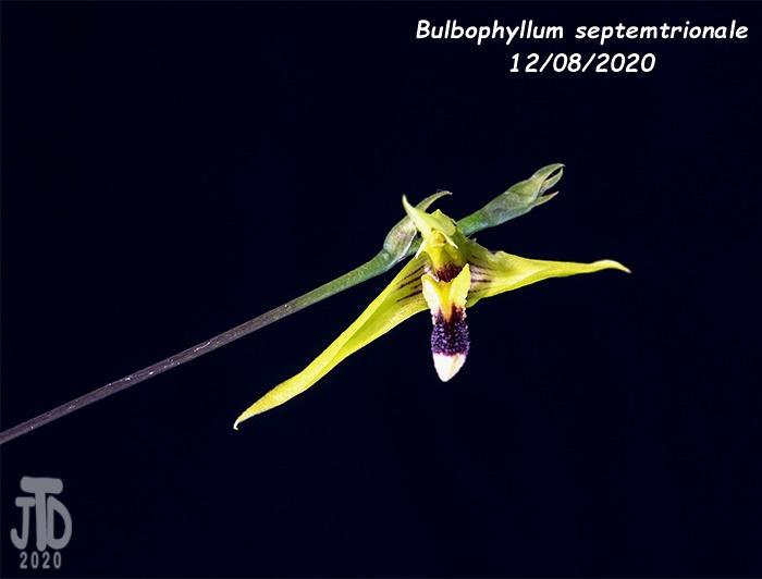 Name:  Bulbophyllum septemtrionale3 12082020.jpg Views: 34 Size:  65.3 KB