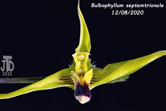 Name:  Bulbophyllum septemtrionale5 12082020.jpg Views: 34 Size:  71.9 KB