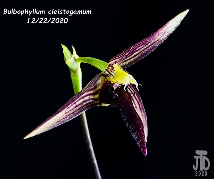 Name:  Bulbophyllum cleistogamum1 12222020.jpg Views: 71 Size:  92.0 KB
