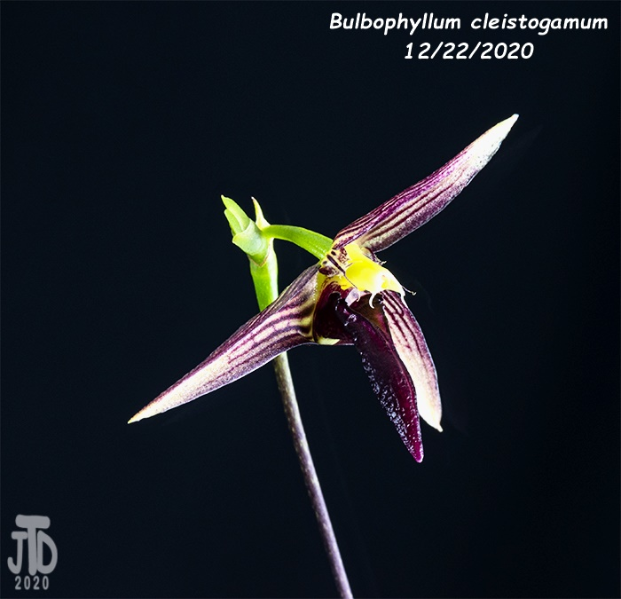 Name:  Bulbophyllum cleistogamum2 12222020.jpg Views: 72 Size:  111.8 KB