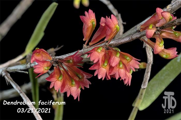 Name:  Dendrobium faciferum1 03212021.jpg Views: 66 Size:  121.0 KB