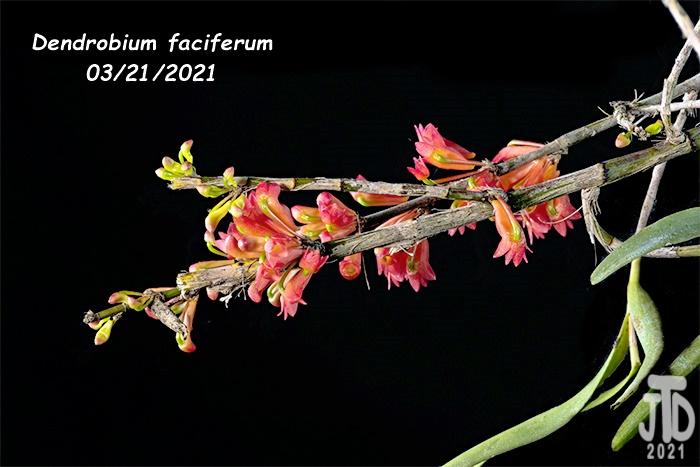 Name:  Dendrobium faciferum3 03212021.jpg Views: 62 Size:  107.8 KB