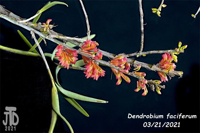 Name:  Dendrobium faciferum4 03212021.jpg Views: 60 Size:  135.6 KB