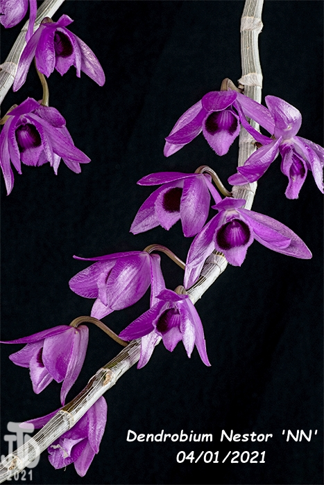 Name:  Dendrobium Nestor 'NN'1 03312021.jpg Views: 49 Size:  296.0 KB