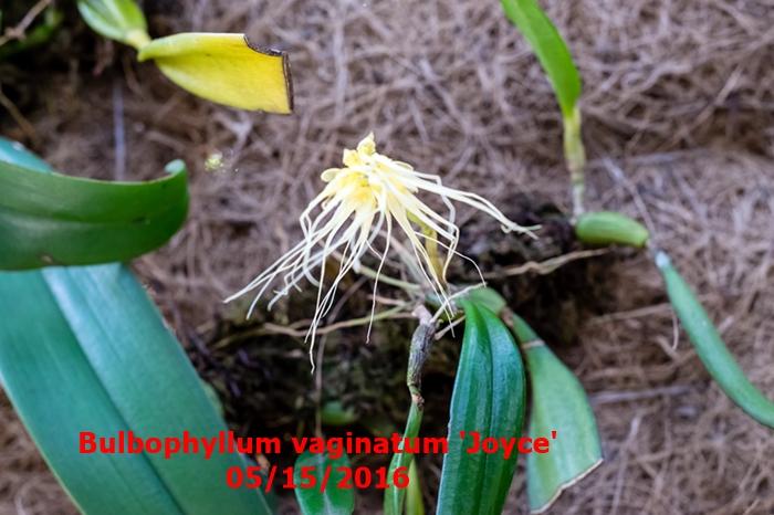 Name:  Bulbophyllum vaginatum 'Joyce'.jpg Views: 299 Size:  252.9 KB