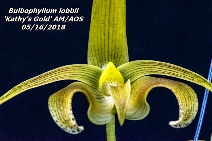 Name:  Bulbophyllum lobbii 'Kathy's Cold' AM-AOS1 100mm 51618.jpg Views: 184 Size:  286.7 KB