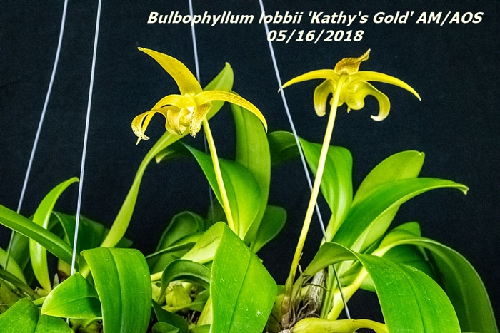 Name:  Bulbophyllum lobbii 'Kathy's Cold' AM-AOS2 100mm 51618.jpg Views: 96 Size:  308.8 KB