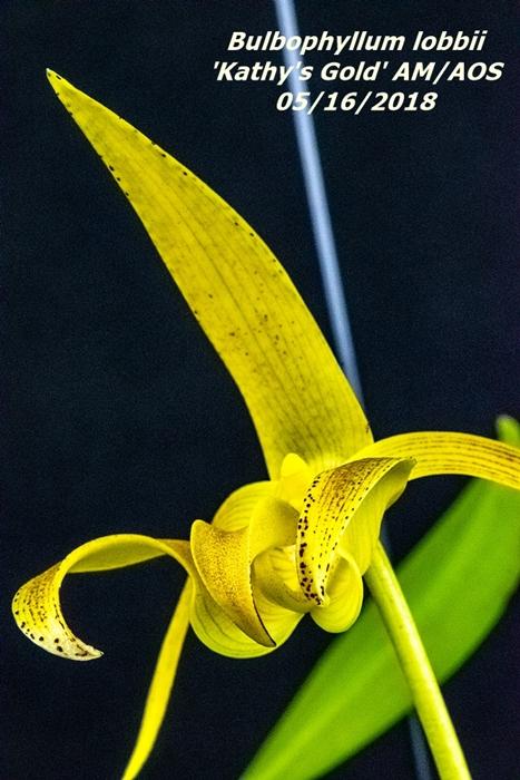 Name:  Bulbophyllum lobbii 'Kathy's Cold' AM-AOS3 100mm 51618.jpg Views: 102 Size:  292.0 KB