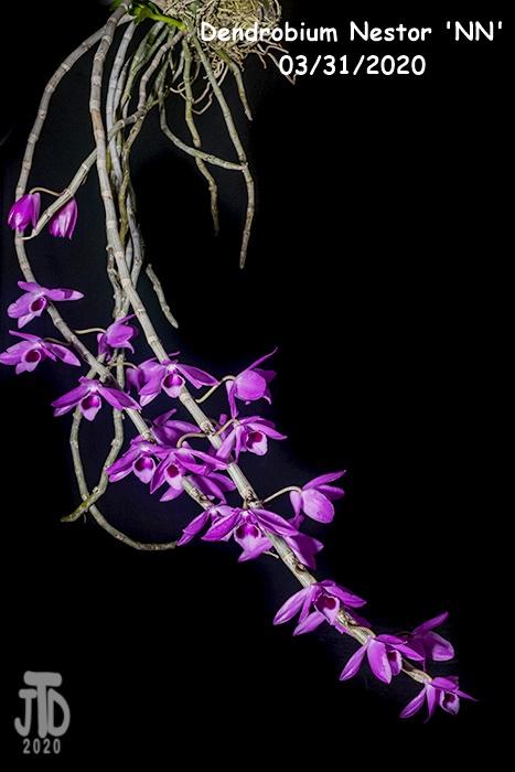 Name:  Dendrobium Nestor 'NN'3 03312020.jpg Views: 91 Size:  91.8 KB