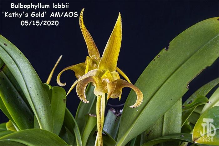 Name:  Bulbophyllum lobbii 'Kathy's Gold' AM-AOS3 05152020.jpg Views: 71 Size:  140.6 KB