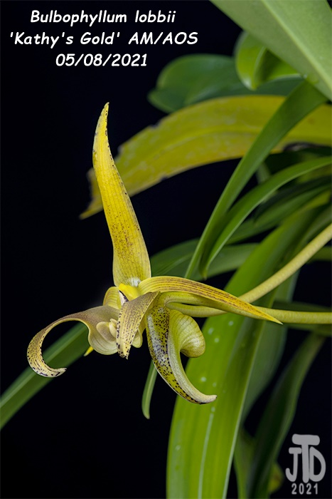 Name:  Bulbophyllum lobbii 'Kathy's Gold' AM-AOS2 05072021.jpg Views: 47 Size:  98.8 KB