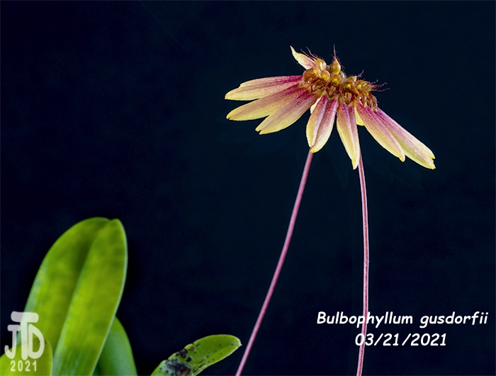 Name:  Bulbophyllum gusdorfii2 03212021.jpg Views: 47 Size:  147.2 KB