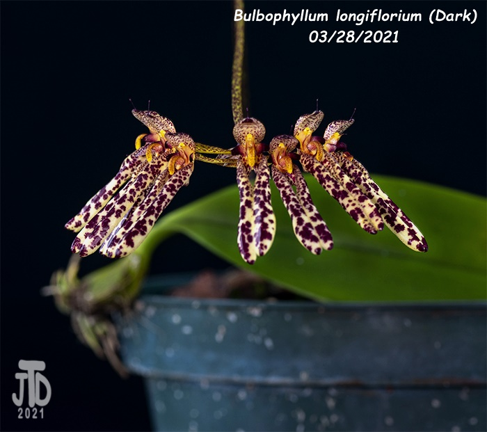Name:  Bulbophyllum longiflorium (Dark)3 03282021.jpg Views: 49 Size:  124.8 KB