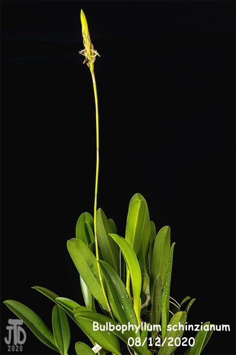 Name:  Bulbophyllum schinzianum5 08122020.jpg Views: 52 Size:  71.7 KB