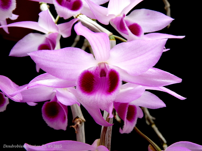 Name:  Dendrobium Nestor 05_2015 30.JPG Views: 1006 Size:  240.0 KB