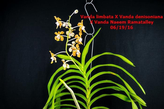 Name:  Vanda limbata X Vanda denisoniana X Vanda Naeem Ramatalley.jpg Views: 351 Size:  252.1 KB