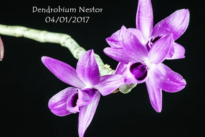 Name:  Dendrobium Nestor2 040117.jpg Views: 113 Size:  210.5 KB