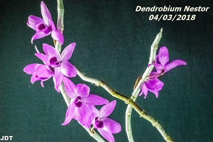 Name:  Dendrobium Nestor1 100mm 040318.jpg Views: 92 Size:  320.9 KB