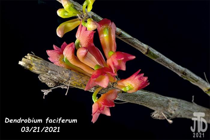 Name:  Dendrobium faciferum5 03212021.jpg Views: 80 Size:  114.4 KB