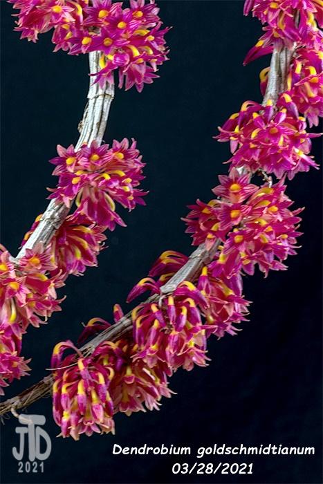 Name:  Dendrobium goldschmidtianum1 03282021.jpg Views: 71 Size:  168.5 KB