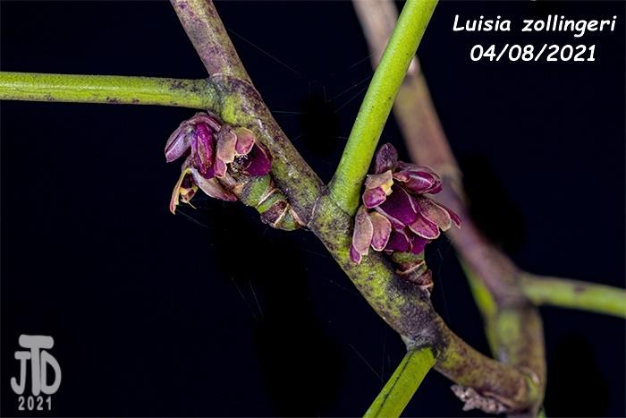 Name:  Luisia zollingeri3 04082021.jpg Views: 67 Size:  112.1 KB