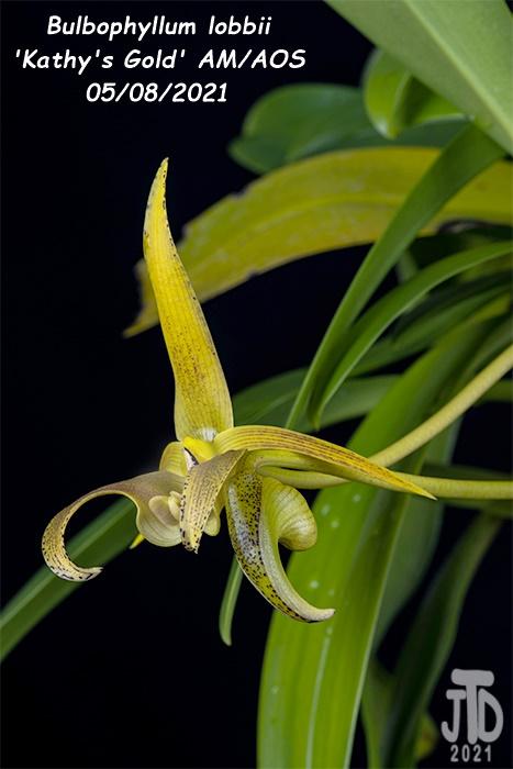 Name:  Bulbophyllum lobbii 'Kathy's Gold' AM-AOS2 05072021.jpg Views: 43 Size:  98.8 KB