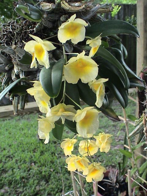 Name:  Dendrobium aggregatum.jpg Views: 397 Size:  122.8 KB