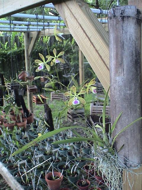 Name:  Encyclia tampensis.jpg Views: 311 Size:  126.8 KB